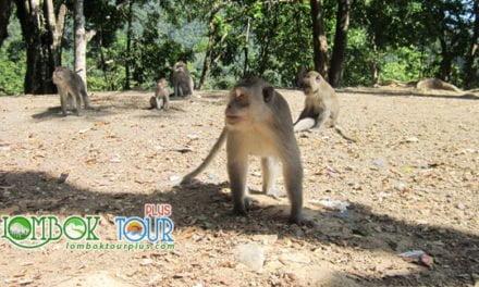 Mengunjungi Hutan Pusuk Lombok Utara Yang Menarik